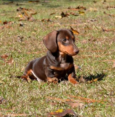 Dachshund puppies for houston Miniature texas in sale