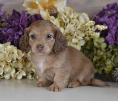 Dachshunds For Sale | Down Home Dachshunds | (601) 590-2039